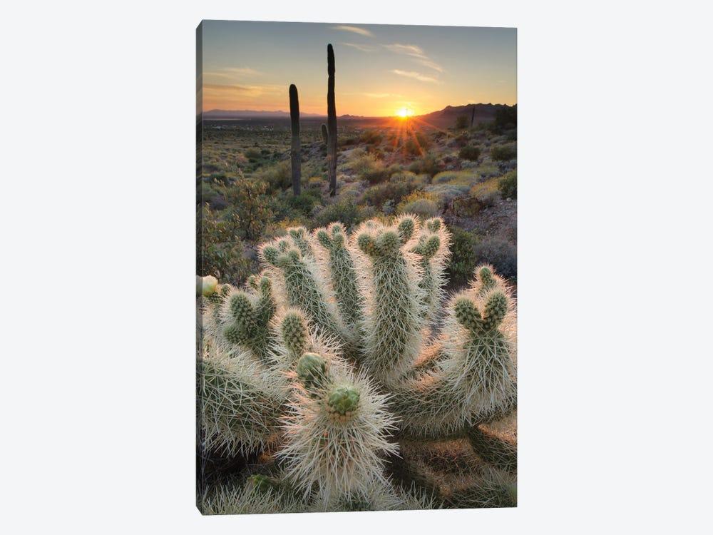 USA, Arizona. Teddy Bear Cholla cactus illuminated by the setting sun, Superstition Mountains. by Alan Majchrowicz 1-piece Canvas Art Print