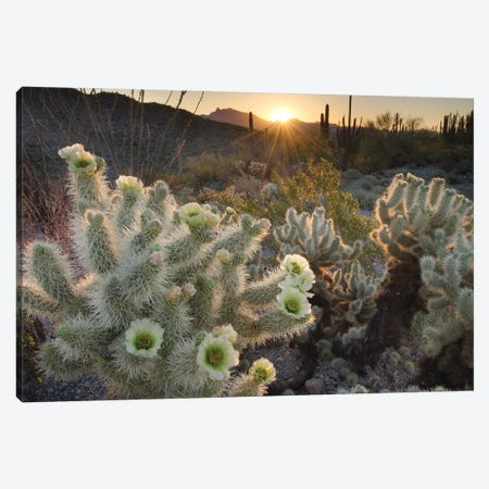 USA, Arizona. Teddy Bear Cholla cactus glowing in the rays of the setting sun, Organ Pipe Cactus National Monument. Canvas Print #MJC106} by Alan Majchrowicz Canvas Art