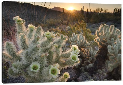 USA, Arizona. Teddy Bear Cholla cactus glowing in the rays of the setting sun, Organ Pipe Cactus National Monument. Canvas Art Print