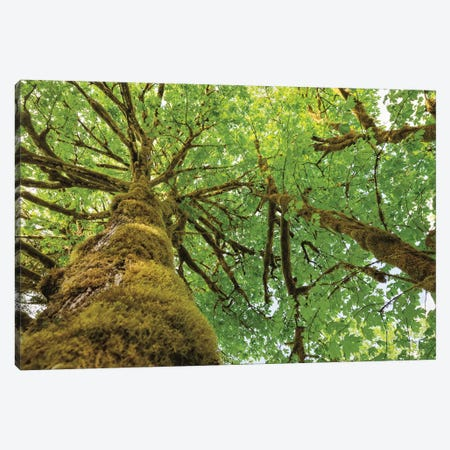Big Leaf Maple Trees I Canvas Print #MJC29} by Alan Majchrowicz Canvas Art Print