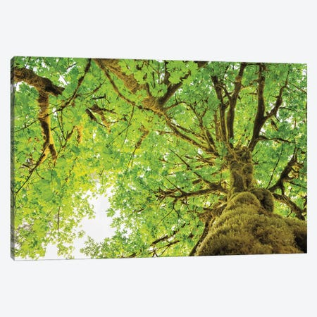 Big Leaf Maple Trees II Canvas Print #MJC30} by Alan Majchrowicz Canvas Artwork