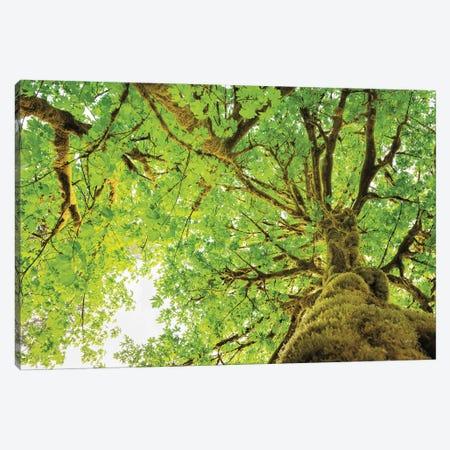 Big Leaf Maple Trees II Canvas Print #MJC30} by Alan Majchrowicz Canvas Artwork
