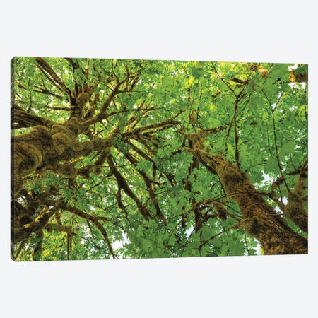 Big Leaf Maple Trees III Canvas Print #MJC31} by Alan Majchrowicz Canvas Wall Art