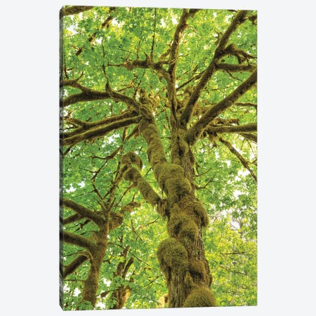 Big Leaf Maple Trees IV Canvas Print #MJC32} by Alan Majchrowicz Canvas Wall Art