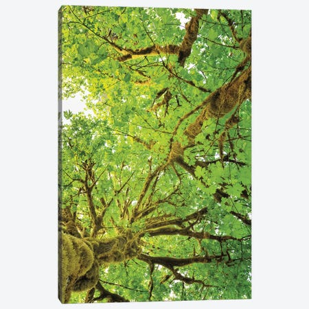 Big Leaf Maple Trees V Canvas Print #MJC33} by Alan Majchrowicz Canvas Art