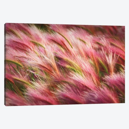 Foxtail Barley II Canvas Print #MJC40} by Alan Majchrowicz Canvas Art Print