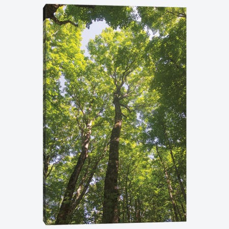 Hardwood Forest Canopy I Canvas Print #MJC44} by Alan Majchrowicz Canvas Art