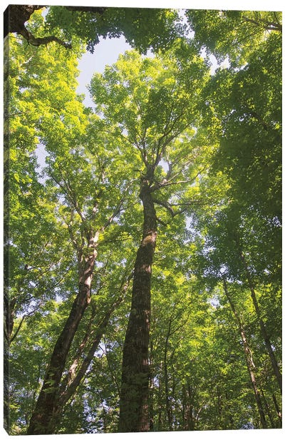 Hardwood Forest Canopy I Canvas Art Print