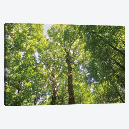 Hardwood Forest Canopy III Canvas Print #MJC46} by Alan Majchrowicz Canvas Art