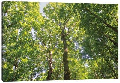Hardwood Forest Canopy III Canvas Art Print