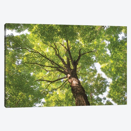 Hardwood Forest Canopy V Canvas Print #MJC48} by Alan Majchrowicz Canvas Print