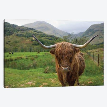 Scottish Highland Cattle III Canvas Print #MJC49} by Alan Majchrowicz Canvas Art Print