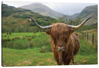 Scottish Highland Cattle III Canvas Art Print