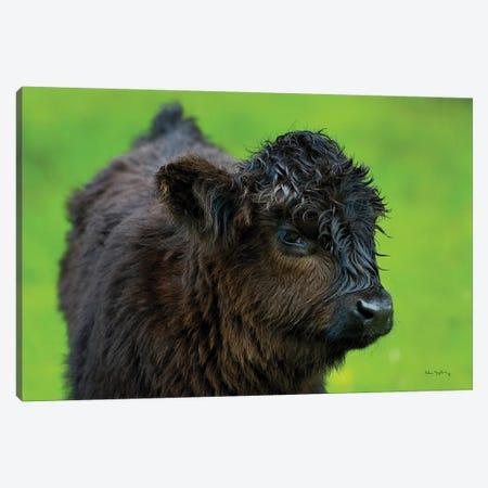 Scottish Highland Cattle XI Canvas Print #MJC63} by Alan Majchrowicz Canvas Art Print
