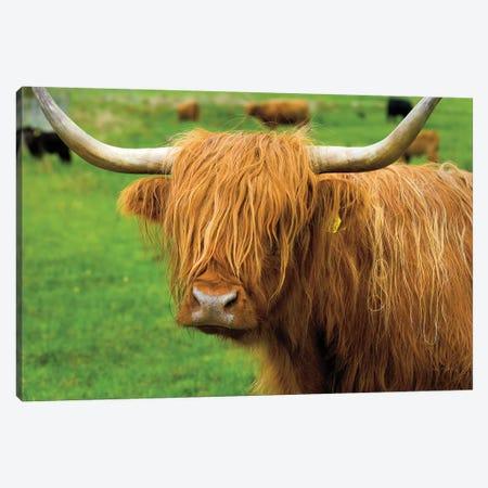 Scottish Highland Cattle I Canvas Print #MJC77} by Alan Majchrowicz Art Print