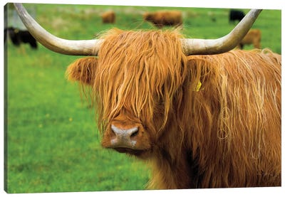 Scottish Highland Cattle I Canvas Art Print