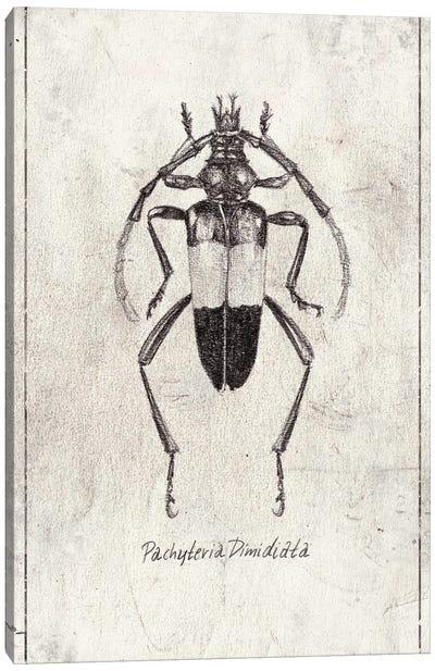 Pachyteria Dimidiata Canvas Art Print