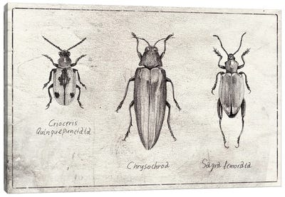 Crioceris Quinquepunctata- Chrysochroa-Sagra Femorata Canvas Art Print