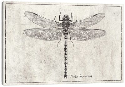 Anax Imperator Canvas Art Print