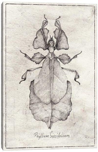Phyllium Siccifolium Canvas Art Print