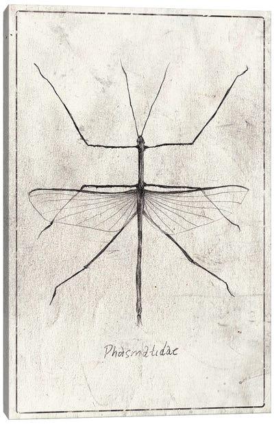Phasmatidae Canvas Art Print