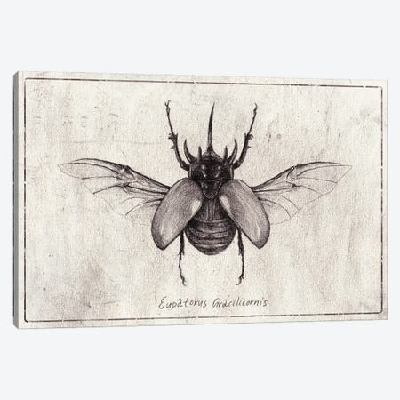 Eupatorus Gracilicornis Canvas Print #MKB147} by Mike Koubou Canvas Art Print