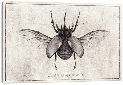 Eupatorus Gracilicornis Canvas Art Print