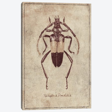 Pachyteria Dimidiata 2 Canvas Print #MKB152} by Mike Koubou Art Print