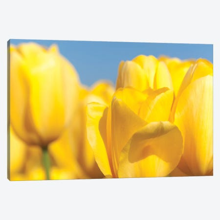 Sunshine Yellow I Canvas Print #MLM10} by Melissa Mcclain Canvas Art