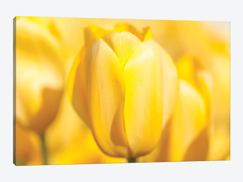 Sunshine Yellow II by Melissa Mcclain 1-piece Canvas Print