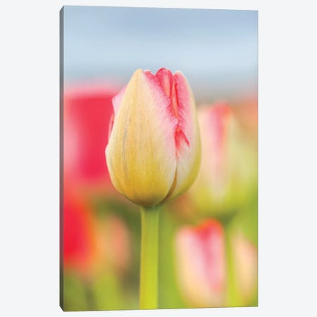 Two-tone Tulip Canvas Print #MLM12} by Melissa Mcclain Canvas Wall Art