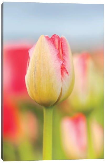 Two-tone Tulip Canvas Art Print