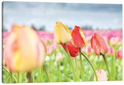 Rosy Field Canvas Art Print