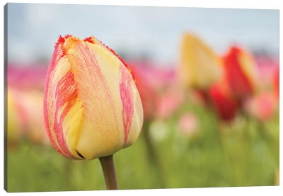 Spring Sherbet Canvas Art Print
