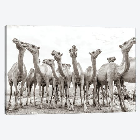 Camel Market Canvas Print #MMJ6} by Mark MacLaren Johnson Canvas Artwork