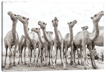 Camel Market Canvas Art Print
