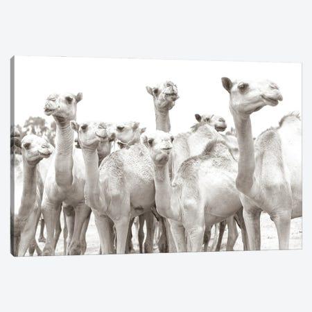 Camel Mates Canvas Print #MMJ7} by Mark MacLaren Johnson Canvas Wall Art