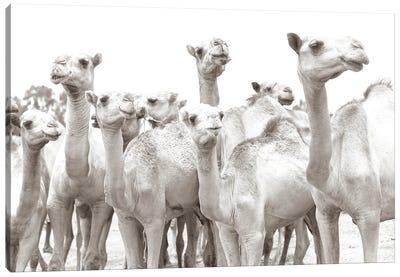 Camel Mates Canvas Art Print