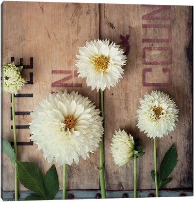 Dahlias In A Row Canvas Art Print