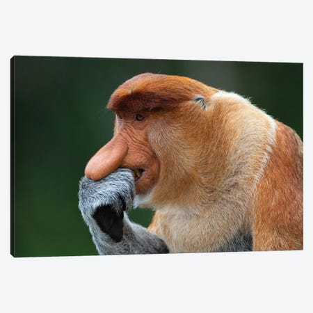 Proboscis Monkey The Thinker Canvas Print #MOG101} by Mogens Trolle Canvas Artwork