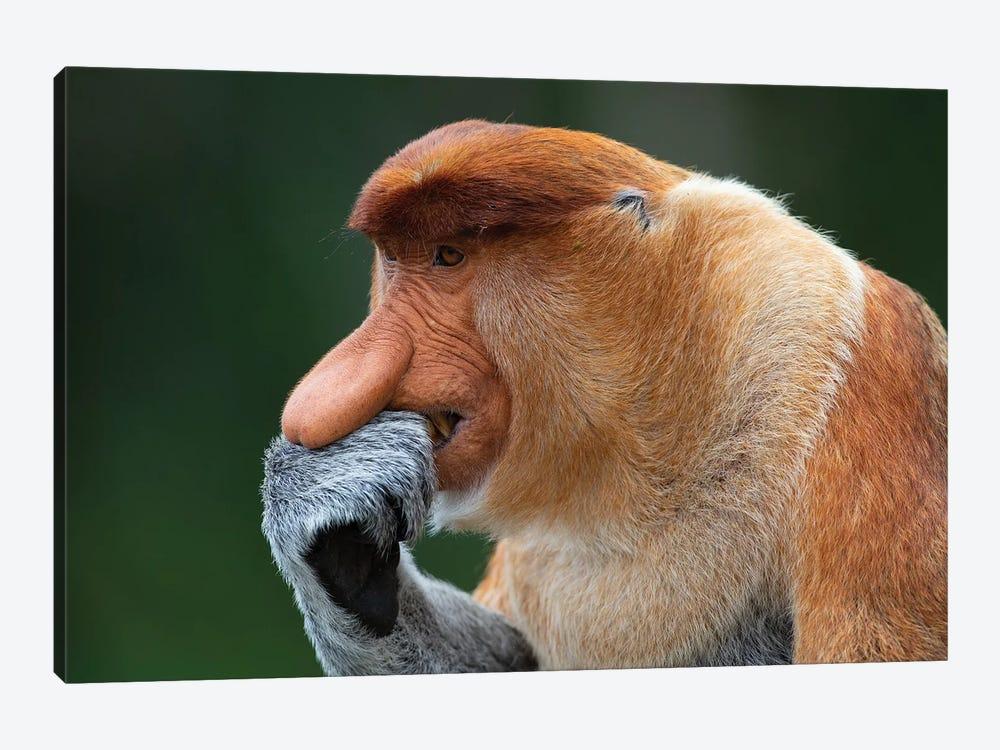Proboscis Monkey The Thinker by Mogens Trolle 1-piece Canvas Art