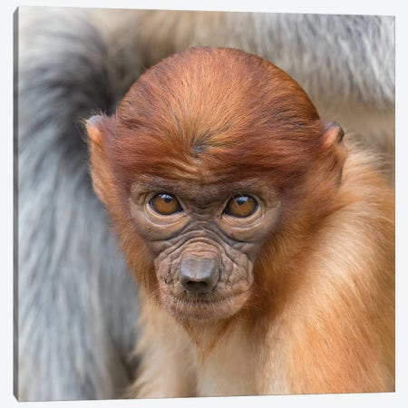 Proboscis Monkey Young Canvas Print #MOG102} by Mogens Trolle Canvas Art