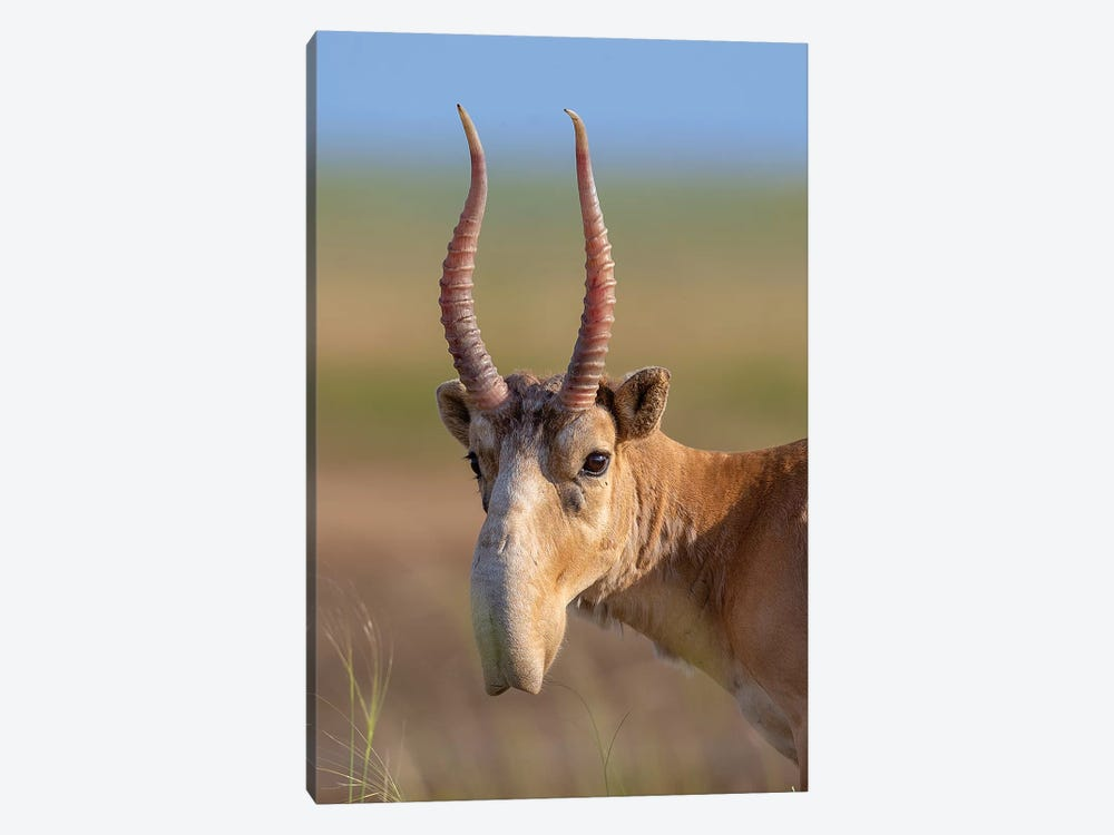 Saiga Adult Male Russia by Mogens Trolle 1-piece Canvas Artwork