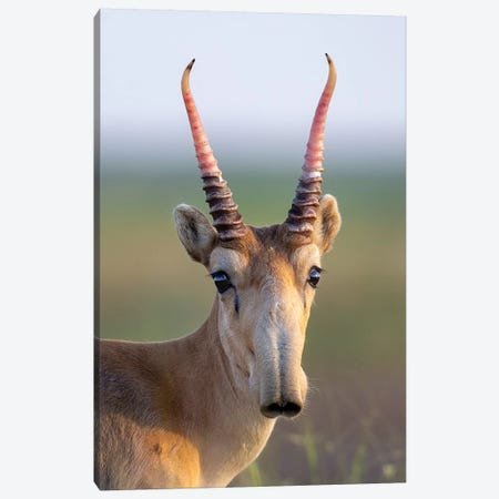 Saiga Young Male Russia Canvas Print #MOG104} by Mogens Trolle Art Print