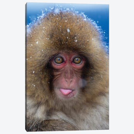 Snow Monkey Catching Snow Japan Canvas Print #MOG106} by Mogens Trolle Art Print