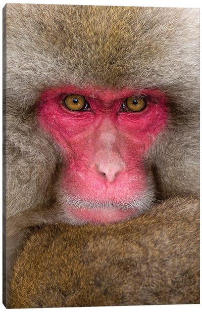 Snow Monkey Eye Contact Japan Vertical Canvas Art Print