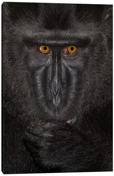 Black Crested Macaque Alpha Close Up Sulawesi Canvas Art Print