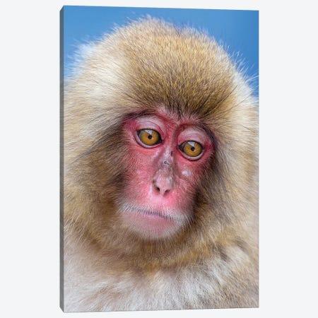 Snow Monkey Juvenile Portrait 3-Piece Canvas #MOG110} by Mogens Trolle Canvas Art Print