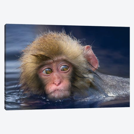 Snow Monkey Youngster In Hotspring Canvas Print #MOG112} by Mogens Trolle Canvas Art Print