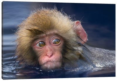 Snow Monkey Youngster In Hotspring Canvas Art Print